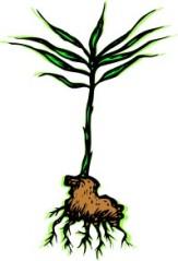 plant root 2