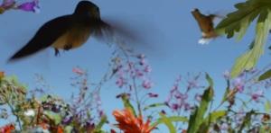 hummingbird battle