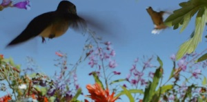 hummingbird battle